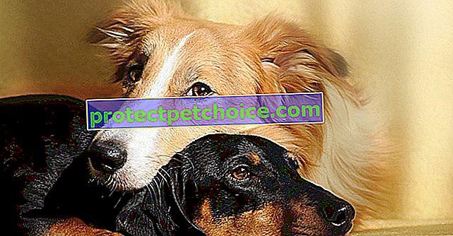 Sex a páření u psů