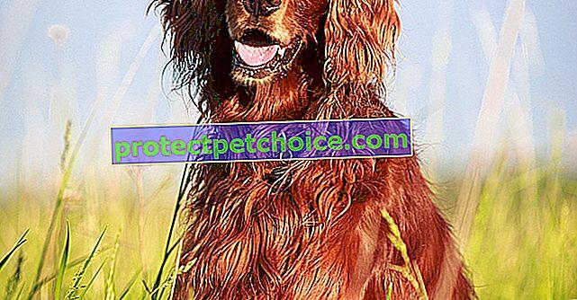 Fotos cachorros y adultos de Setter rojo irlandés