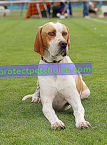Zdjęcie: English Pointer dog on Pets
