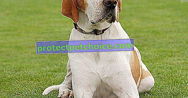 Fotos de cachorros y adultos pointer inglés