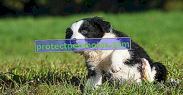 Чести кучешки алергии