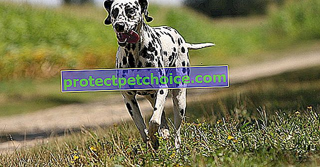Chemická nebo hormonální kastrace, alternativa k chirurgické sterilizaci psa