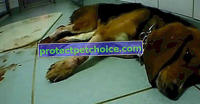 Şok videosu Alman laboratuvarında hayvanlara işkence yapıldığını gösteriyor