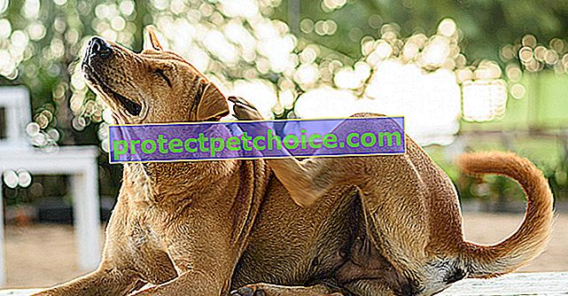Пиотравматичен дерматит при кучета