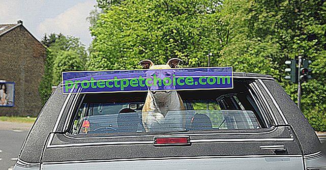 Pes se je ustavil za volanom avtomobila, njegov gospodar, drogiran, ga je naučil voziti