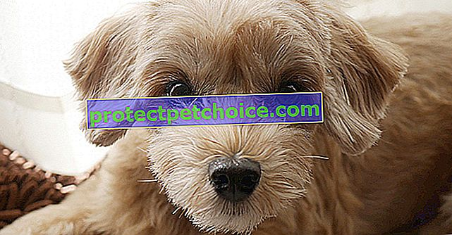 Прогресивна атрофия на ретината при кучета (PRA)
