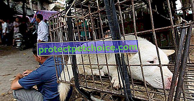 Китай: близо 10 000 кучета, заклани по време на фестивала на кучешкото месо в Юлин!