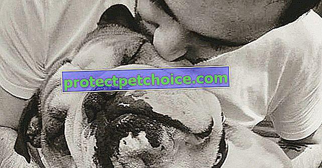 Преместване на почит от Camille Combal към Groucho: нейното починало куче