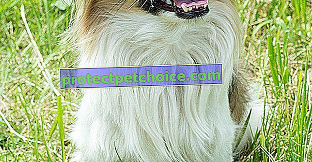 Fotos de cachorros pequinés y adultos