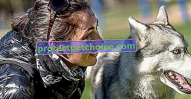 Conoce a Chuck, el hermoso Husky que ganó el elenco de Superstar Doggie
