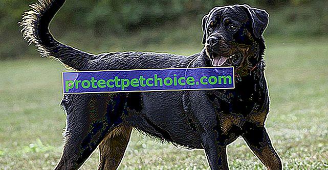 Лумбосакрален синдром при кучета