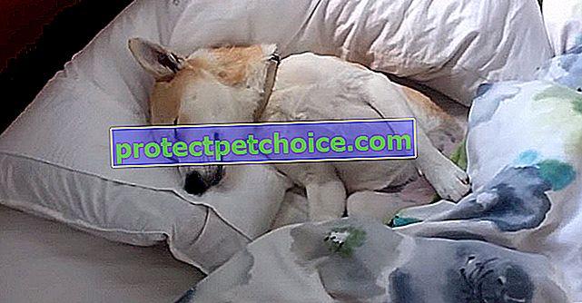 Това куче играе мъртво, за да не се налага да ходи на ветеринар