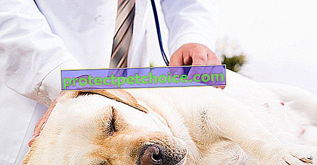 Infekční choroby u psů