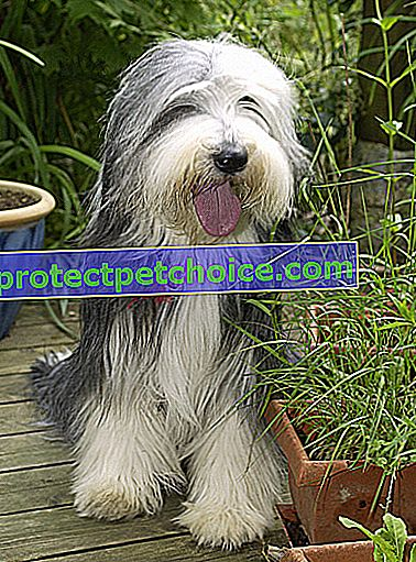 Zdjęcie: Pies rasy Bearded Collie on Pets