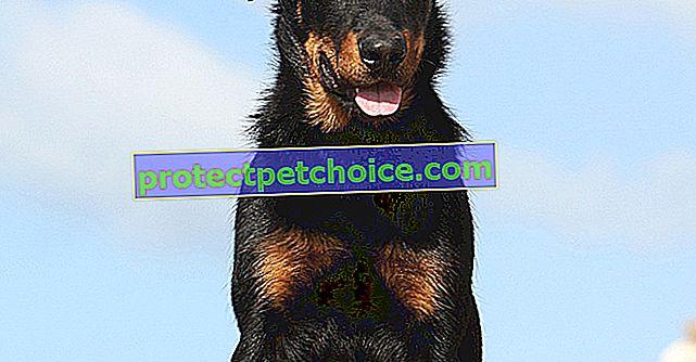 Снимки на кученца и възрастни Beauceron