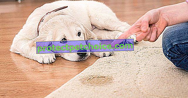 Премахнете петна от миризма и урина от вашето куче