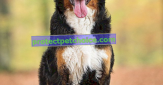 Fotos cachorros y adultos de Bernese Mountain Dog