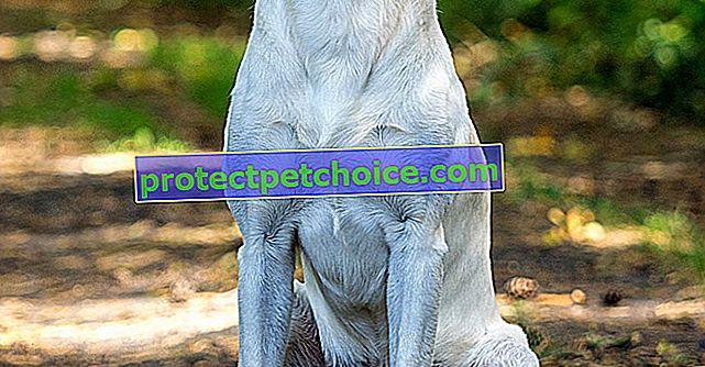 Fotos de cachorros y adultos labrador retriever