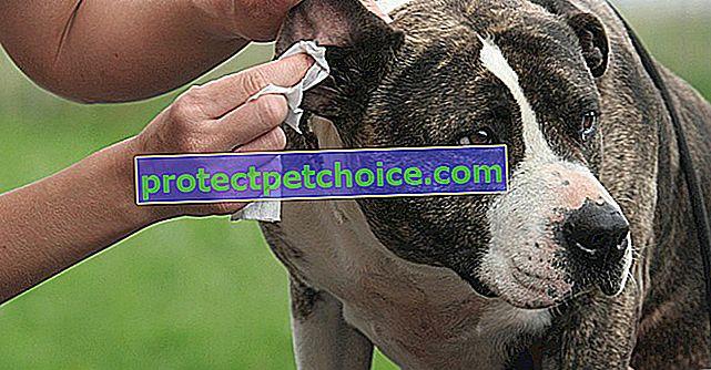 Očistite ušesa svojega psa