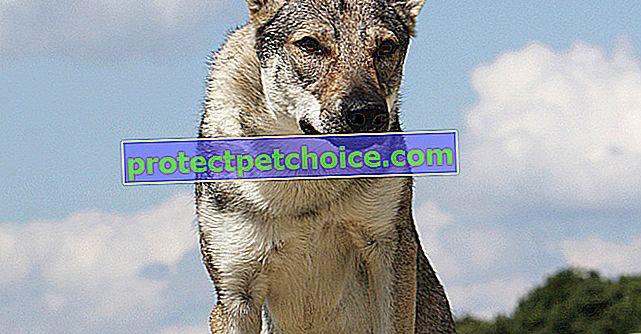 Çekoslovak Wolfdog