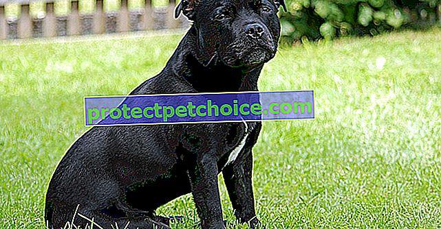Fotografije štenad Staffordshire Bull Terrier i odrasli