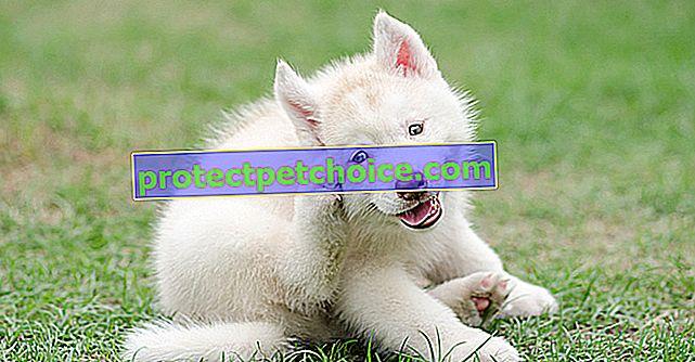 Mordeduras de niguas en perros
