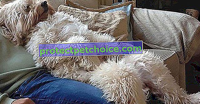 30 klišejev, ki dokazujejo, da je Goldendoodle najbolj prikupna pasja pasma