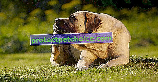 Výběr velkého psa