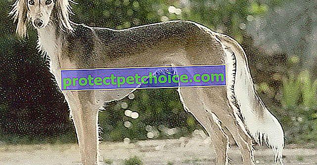 15 z nejdražších plemen psů ke koupi