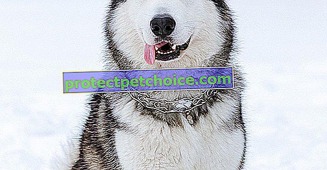 Slike štenaca i odraslih ljudi aljaškog malamuta