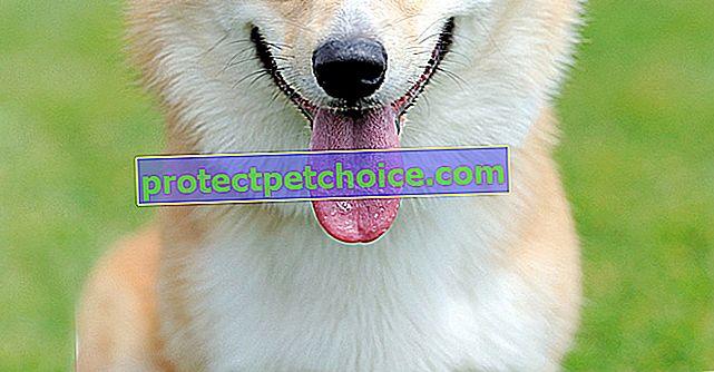 Imágenes Welsh Corgi Pembroke cachorros y adultos