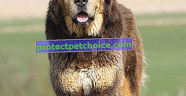 Fotos de cachorros de mastín tibetano y adultos