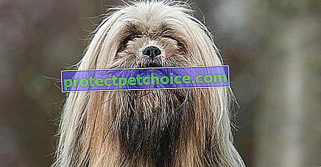 Fotos de cachorros y adultos de Lhasa Apso