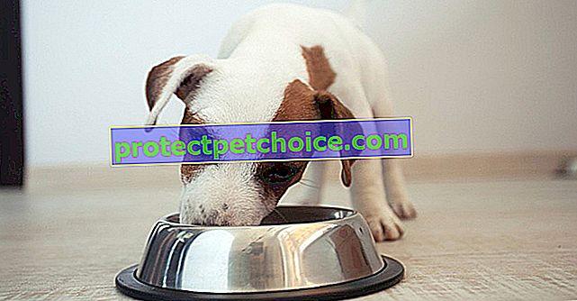 Ztráta chuti k jídlu u psa