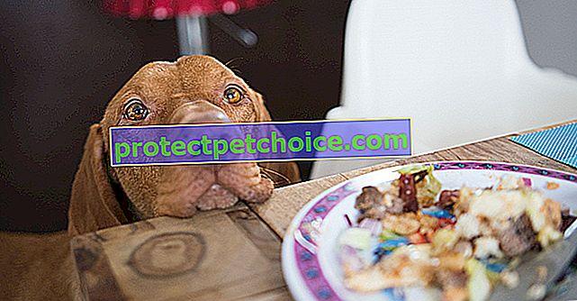 Köpeğinizin etrafta yatan her şeyi yemesini nasıl önleyebilirsiniz?