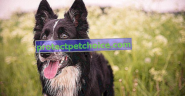Интелигентност при кучета
