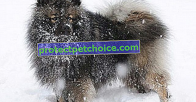 11 pasmina pasa koje zimu podnose bolje od ostalih