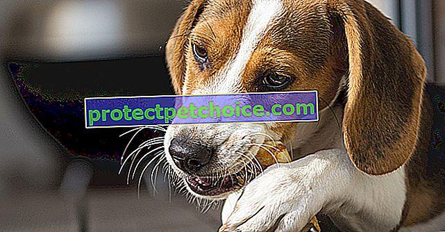 Što možete dati psu da žvače?