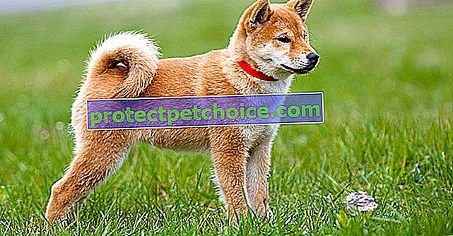Избор на японско куче