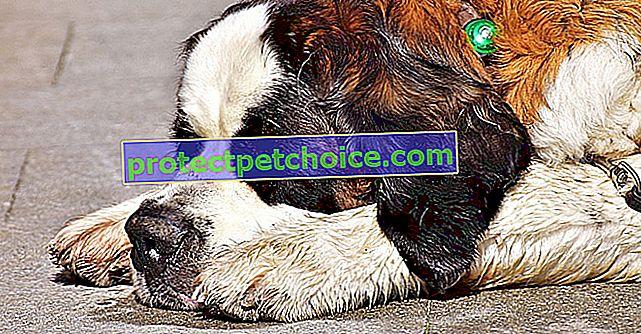 10 pasmina pasa kojima je spavanje pravo zadovoljstvo!