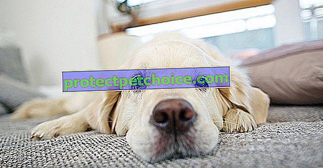 Quitar el pelo de perro en el sofá