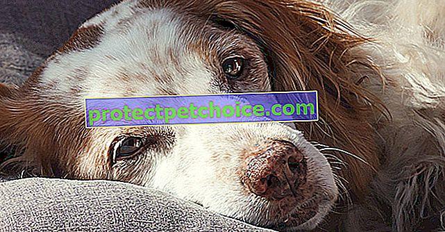 Histiocitosis en perros