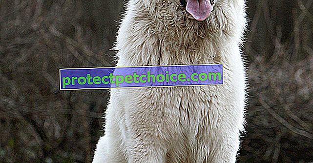 Fotografie Pyrenejský salašnícky pes šteňatá a dospelí