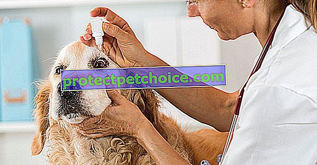 Загуба на зрение при кучета