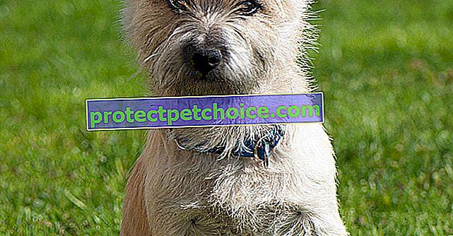 Fotos cachorros y adultos Cairn Terrier