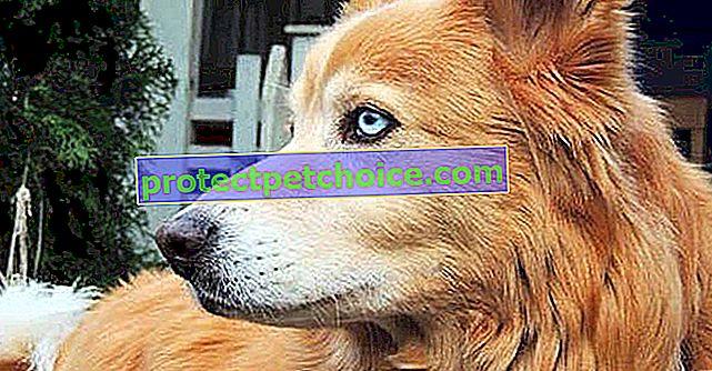 9 úžasných kříženců plemen psů, ale s fantastickými výsledky
