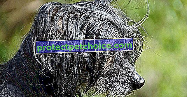 10 plemen hypoalergenních psů
