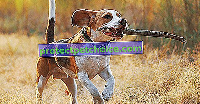 Дислокация на патела при кучета