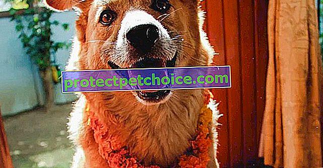 ¡El festival Kukur Tihar honra al perro en Nepal!