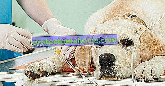 Chronická aktivní hepatitida u psů